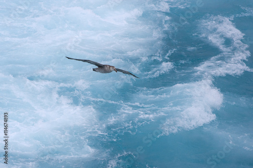 Fotografia, Obraz  Albatross gliding over the South Atlantic.