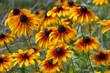canvas print picture - Sonnenhut - black-eyed Susan flower