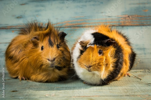 Fotografía  A pair of guinea pigs on the wooden table