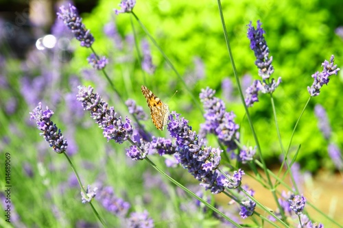 Aluminium Prints Butterfly Lavender and butterfly