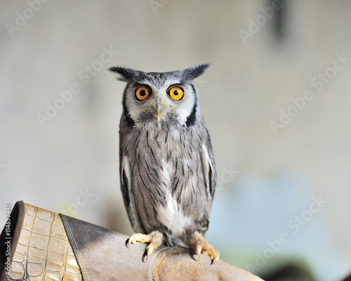 fototapeta na lodówkę nice horned owl