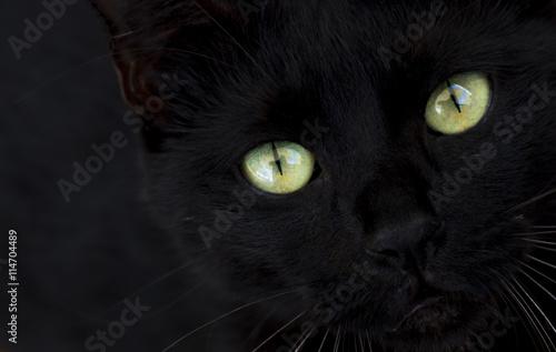 Fotografie, Obraz  kara kedi