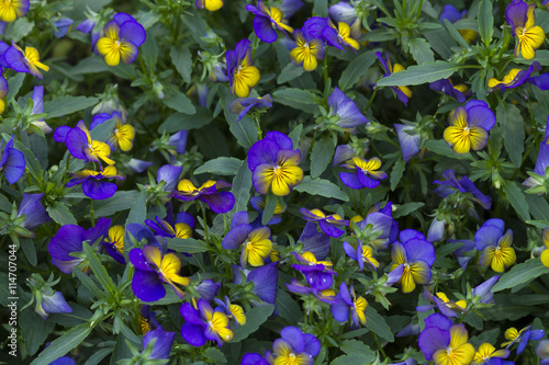 Papiers peints Pansies purple pansy flower