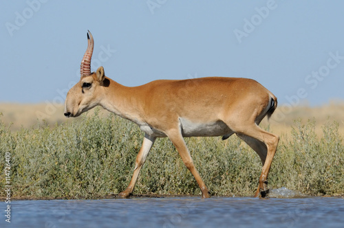 Poster Antilope Wild male Saiga antelope near watering in steppe