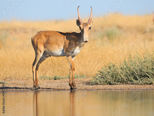 Antilope Wild male Saiga antelope near watering in steppe