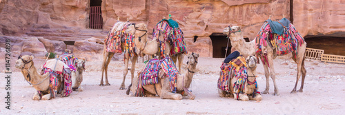Spoed Foto op Canvas Kameel Group of camels in ancient city of Petra in Jordan