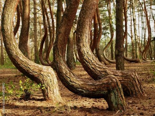 Photo krzywy las Nowe Czarnowo