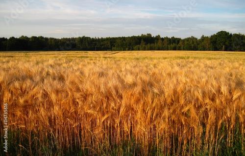 Foto auf Gartenposter Landschappen Rye field and forest in the background