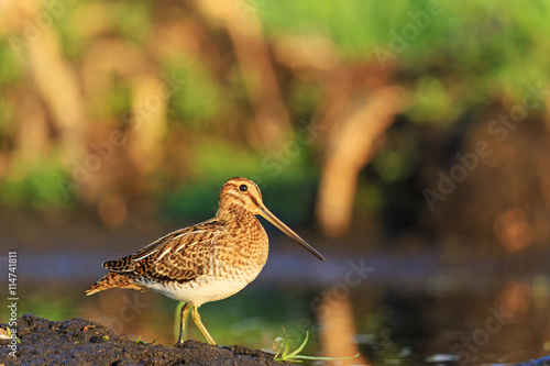 Obraz na plátne hunting bird, beautiful snipe