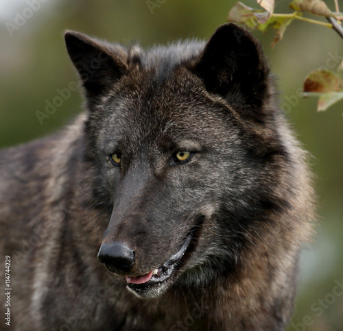 Photo  Black wolf looking to the left