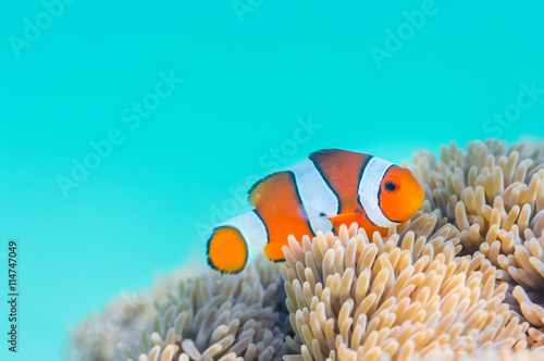 Fotografie, Tablou  Common Clownfish