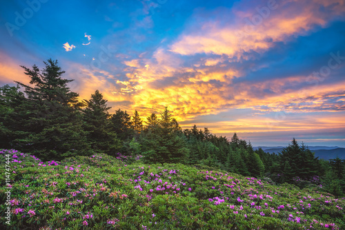Catawba rhododendron, scenic sunrise, Roan Mountain Tennessee Canvas Print