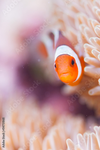 Common Clownfish Fototapet