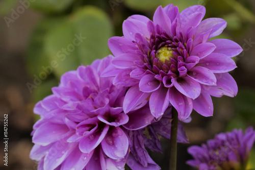 In de dag Dahlia Purple Dahlia Pinnata