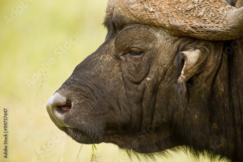 Foto op Canvas Bison Alert buffalo