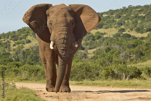obraz dibond Huge African elephant in the road