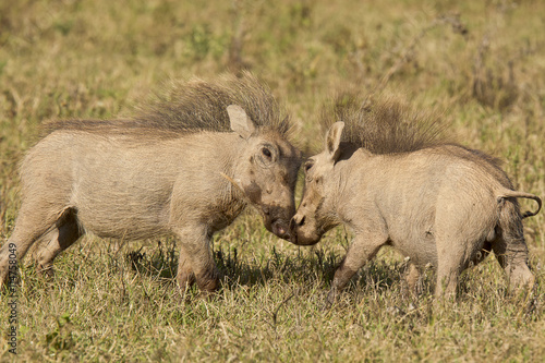 obraz dibond Young warthogs playing