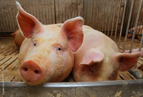 Fotografie, Tablou  fat pigs in a sty on a farm