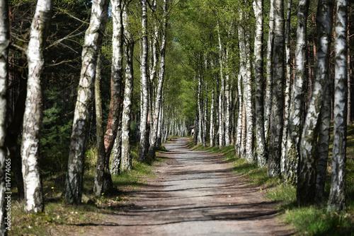 przez-brzozowy-las