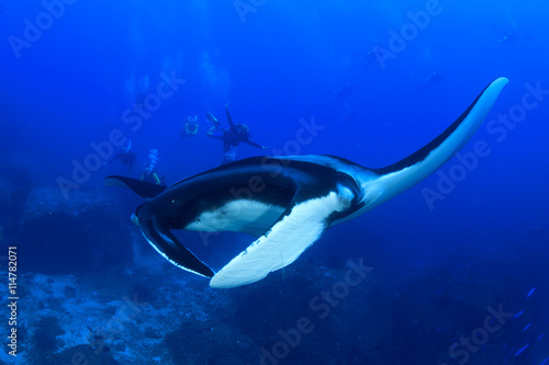 obraz lub plakat Manta Ray with scuba divers in background