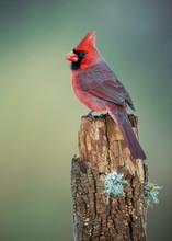 Male Northern Cardinal (Cardinalis Cardinalis) Standing In Profile On Perch