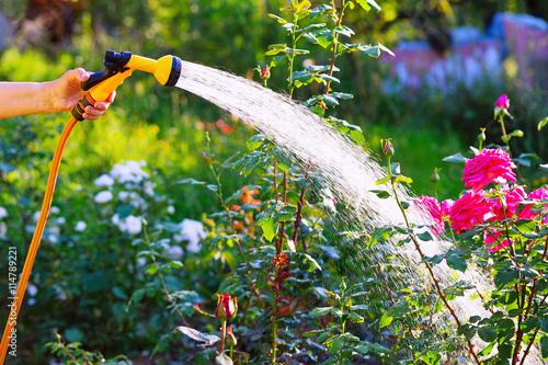 Obraz Senior woman hand holding hose sprayer and watering rose flowerbed in garden - fototapety do salonu