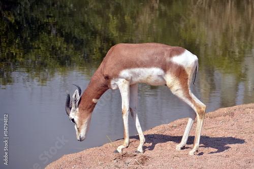 Antelope antilope si avvicina alla riva del fiume per dissetarsi