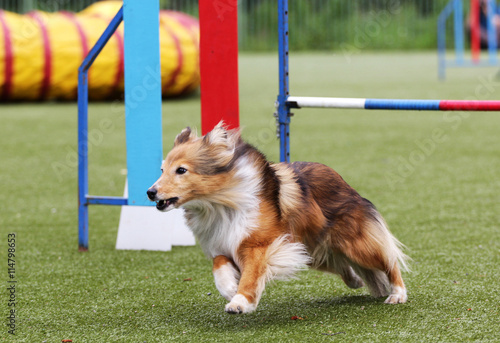 Fényképezés Dog of the Sheltie at training on agility
