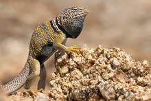 The Great Basin Collared Lizar...