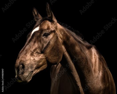 Portrait of racehorse against black background