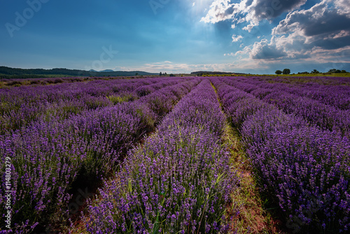 Fototapeta Lavender field at the end of June, near Kazanlak, Bulgaria obraz na płótnie