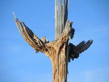 Saguaro Skeleton In Sonoran Desert Of Arizona.