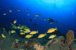 Coral reef, school of snappers fish and scuba diver