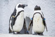 Humboldt Penguins At Zoo