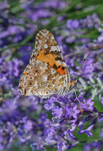 Painted Lady Butterfly On Lavender Flower