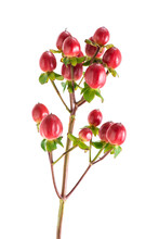 Bush Red Hypericum, Isolated On White
