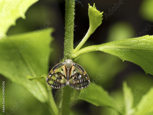 Planthopper,Euricania ocellus Tablou Canvas