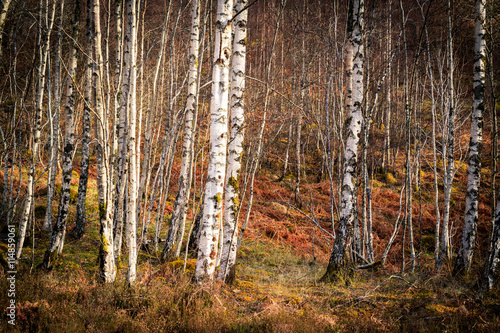 Fototapeta Silver birch