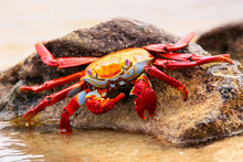 Sally Lightfoot Crab Feeding O...