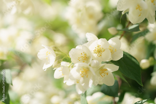 Canvas Print Jasmine flowers blossoming on bush, summertime photo