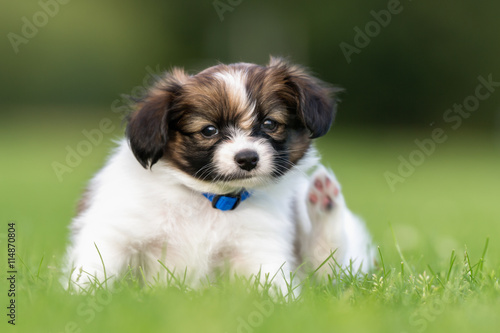 Young Papillon Dog Puppy Buy This Stock Photo And Explore Similar