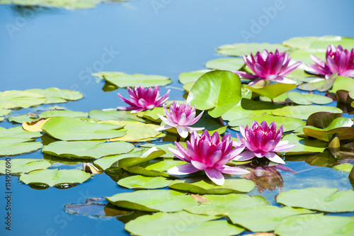 In de dag Waterlelies Water lilies