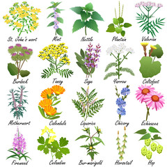 FototapetaMedicinal and healing herbs collection. Hand drawn set of botanical vector illustrations, isolated on white.