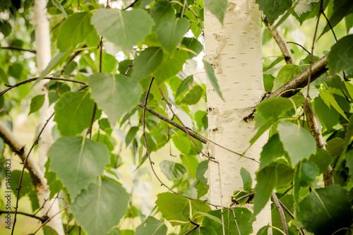Photo sur Toile Bosquet de bouleaux Зелёная берёзовая роща