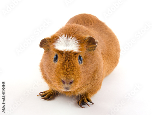 Fotografía  Cute American crested guinea pig (isolated on white)