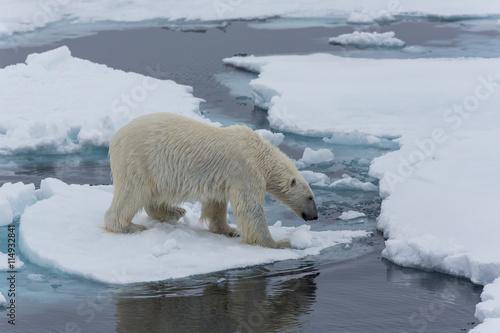 Poster Polar bear Eisbär, Eisbären, Packeis, Eis, Spitzbergen, Artik, Polarkreis, Nordpol, Norwegen, Tier, Säugetier, Wasser
