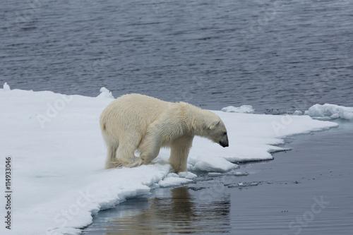 Wall Murals Polar bear Eisbär, Eisbären, Packeis, Eis, Spitzbergen, Artik, Polarkreis, Nordpol, Norwegen, Tier, Säugetier, Wasser