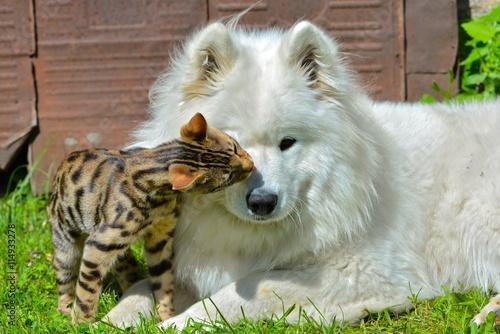 Foto  Chien et chat, chien Samoyède et chat de Bengale