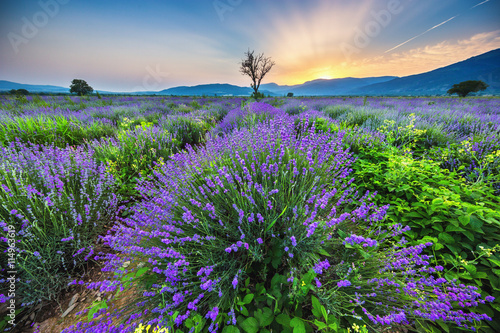 plakat Lavender flower blooming fields in endless rows. Sunset shot.