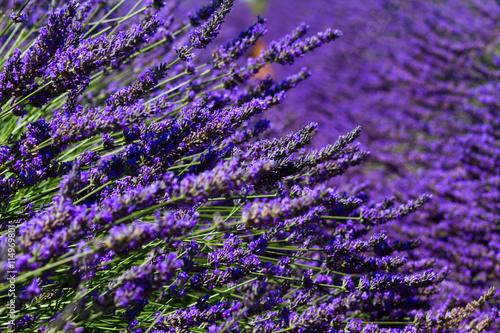 Foto op Aluminium Snoeien Lavender summer field